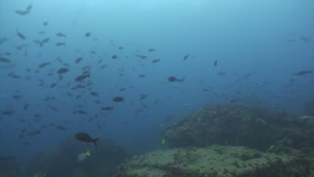 vídeos de stock e filmes b-roll de fish school on a blue background of water in ocean on galapagos. - oceano pacífico
