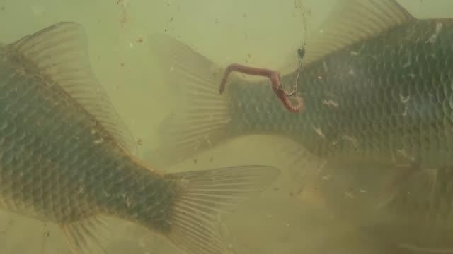 fische schwimmen im see in der nähe des fischhakens, an dem der köder befestigt ist - fischköder stock-videos und b-roll-filmmaterial