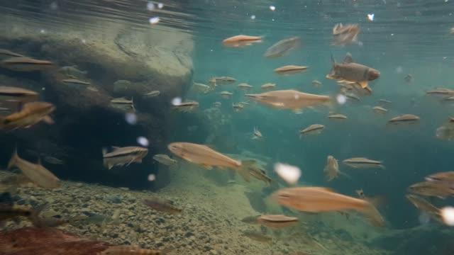 Fish(Taiwan torrent carp,Deep-body shovelnose minnow, Taiwan shoveljaw carp)  swimming in clear river located at Taroko National Park Fish(Taiwan torrent carp,Deep-body shovelnose minnow, Taiwan shoveljaw carp)  swimming in clear river located at Taroko National Park, Taiwan marsh stock videos & royalty-free footage