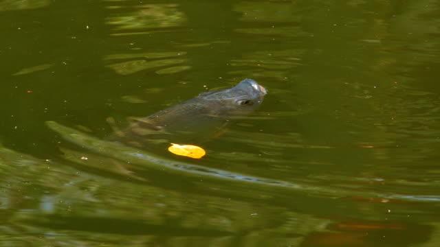ryby pływające w stawie - karp filmów i materiałów b-roll