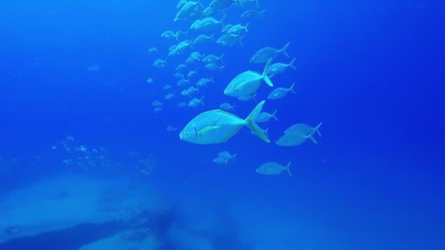 fish swimming in tropical ocean fuerteventura  canary islands - луциан стоковые видео и кадры b-roll