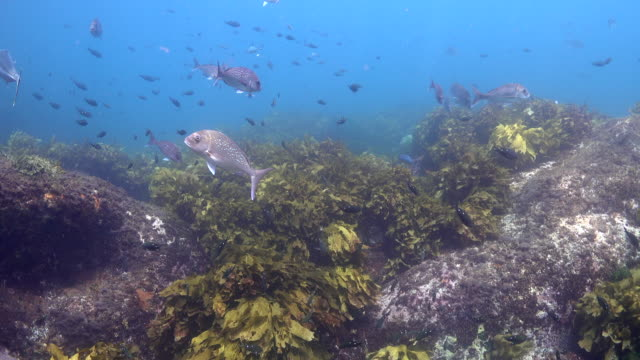 Fish swimming over seaweed and kelp forest Snapper and kingfish swim amongst beautiful kelps and seaweeds. kelp stock videos & royalty-free footage