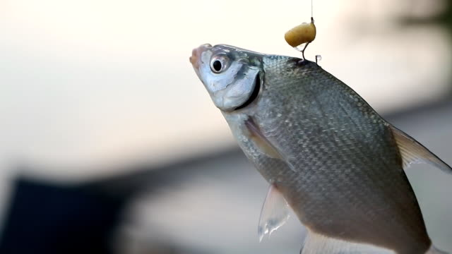 fish turns in the air on a hook and enough air, choking, Fishing Rods, cruelty to animals video