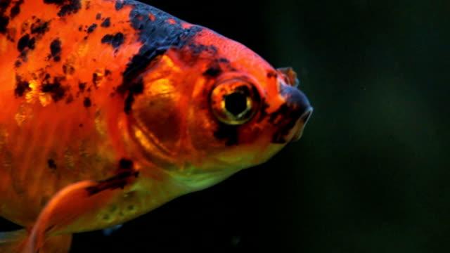 vidéos et rushes de poisson - nageoire caudale