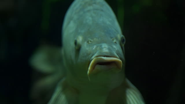 fish with mustache - siluriformes video stock e b–roll