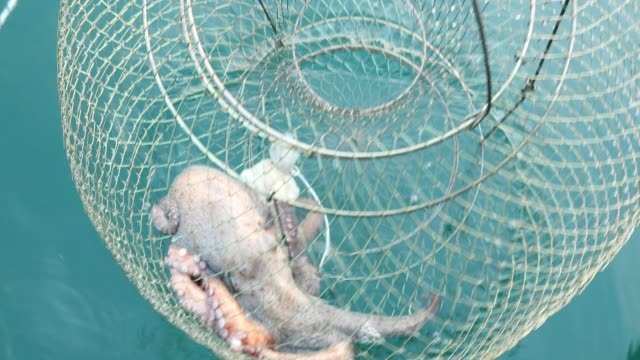 fischer und großer oktopus in fischfalle - netzgewebe stock-videos und b-roll-filmmaterial
