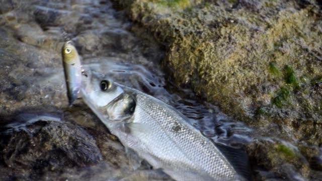 fischer fängt einen bassfisch an der küste in campoamor spanien. - angelhaken stock-videos und b-roll-filmmaterial