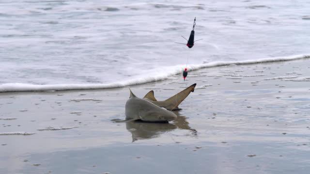 fischer einen ammenhai im meer - fang stock-videos und b-roll-filmmaterial