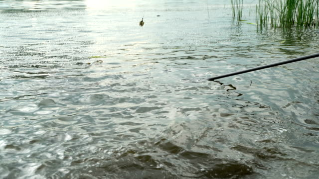 Fisherman caught actively resists fish in fishing feeder competition, pulls prey from water by fish net, catch and release principle, concept of luck and victory video