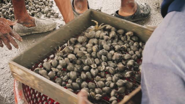 Fisherman handling cockle in basket video