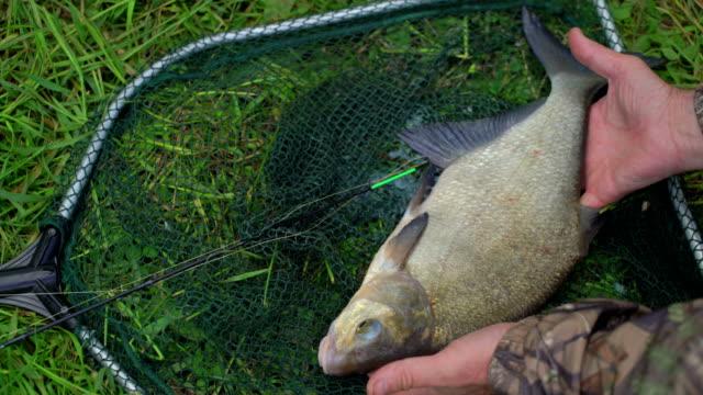 野生の魚鯛で獲れた新鮮な漁師の手を保持します。アドレナリンから揺れ手。成功のコンセプトは、興奮と喜びをキャッチします。キャッチし、リリースします。クローズ アップ ビデオ
