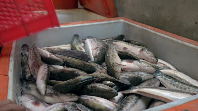 fischer gießen ihren fang aus einer kiste in eine eistruhe (nahaufnahme) - fang stock-videos und b-roll-filmmaterial