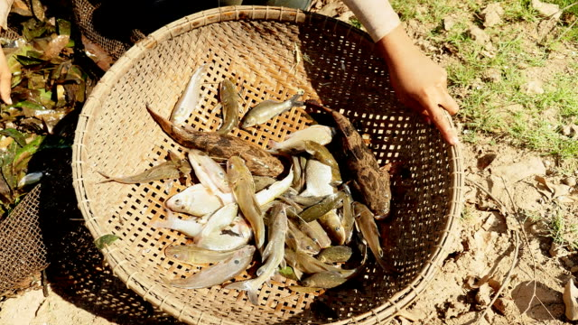 fishers sorting fish catch out from aquatic plants in a fishing net and keeping it in a bamboo basket video
