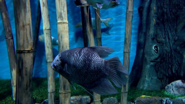 fische schweben zwischen bambusstämmen vor blauem hintergrund fullhd-video - ichthyologie stock-videos und b-roll-filmmaterial