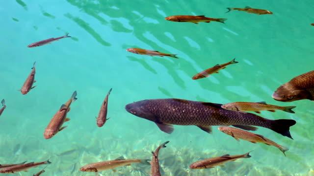 hd зажимом: рыбки в озеро - национальный парк плитвицкие озёра стоковые видео и кадры b-roll