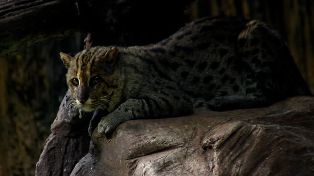 Fishing cat in forest video