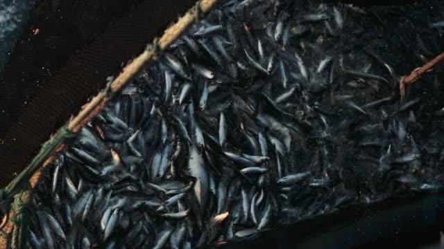 fischerei-industrie: großer fang von fischen im netz - fang stock-videos und b-roll-filmmaterial