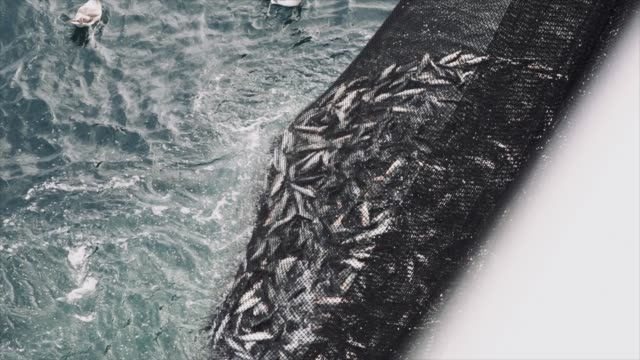 fishing industry: huge catch of fish in the net - fishing video stock e b–roll