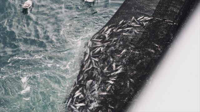 fishing industry: huge catch of fish in the net - rybak filmów i materiałów b-roll