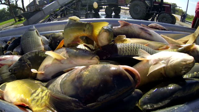 catfish indutry Baitfish industry arkansas leads the has gone into building new hatcheries and holding sheds labor requirements are higher in baitfish farming than for catfish.