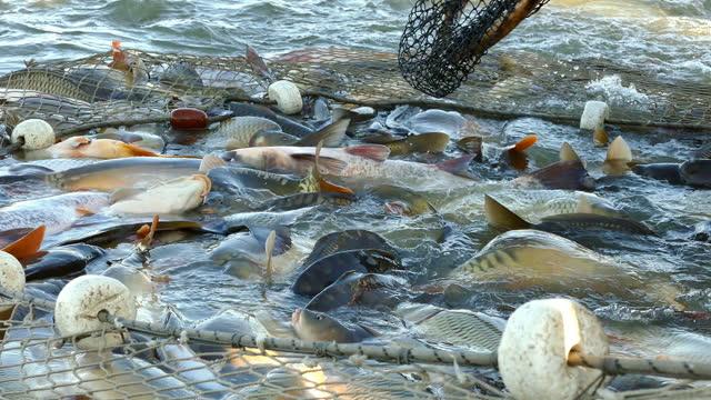 rete da pesca piena di pesce - acqua dolce video stock e b–roll