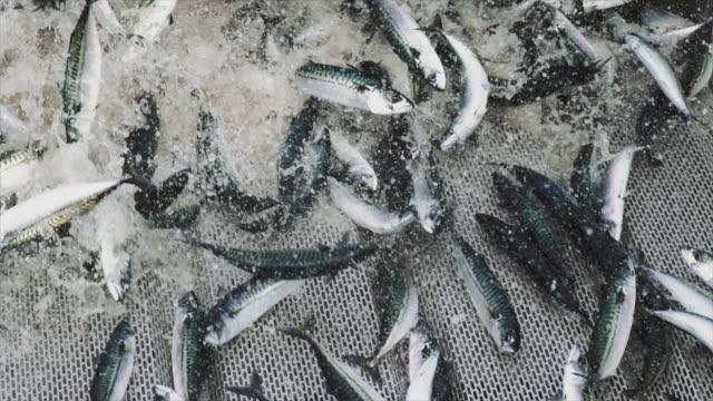 fishingboat vessel fishing: huge catch of fish - rybak filmów i materiałów b-roll