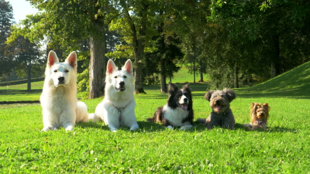Five dogs lying in the park in a line, from the biggest to the smallest. They just sit still and look beautiful. Five dogs lying in the park in a line, from the biggest to the smallest. They just sit still and look beautiful. Amazing! group of animals stock videos & royalty-free footage