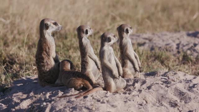 fem meerkats sittande sunning sig på kanten av sin håla - vakta bildbanksvideor och videomaterial från bakom kulisserna