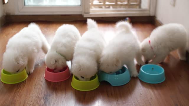 vídeos de stock e filmes b-roll de five samoyed puppy eating indoor - samoiedo