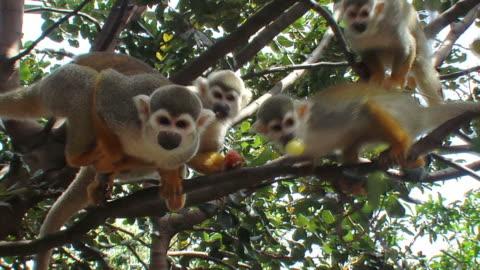 vídeos y material grabado en eventos de stock de cinco ardilla monos - un animal