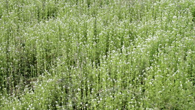 HD video garlic mustard Alliaria petiolata ecological succession video