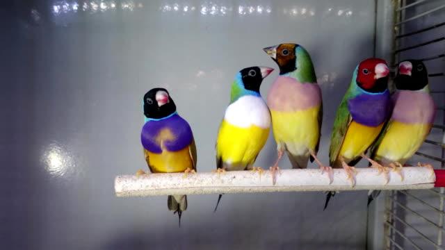 five vibrant birds in cage video