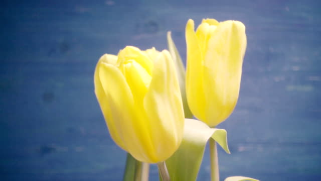 Five yellow tulips in a bouquet on a blue background video
