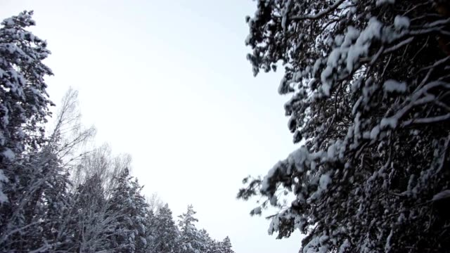 Flakes of Snow on the Tops of the Pine Trees Along the Road in the Woods video