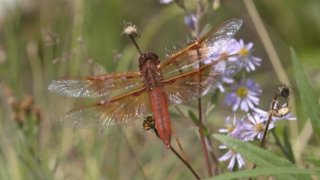 flame skimmer dragonfly in yellowstone - libellulidae video stock e b–roll