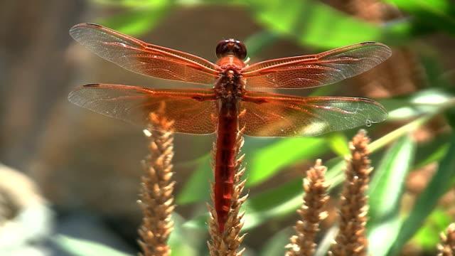 fiamma libellula comune - libellulidae video stock e b–roll