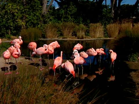 flamingo sf 01 - uccello acquatico video stock e b–roll