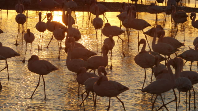 Flamingo at Walvis Bay wetland Flamingo at Walvis Bay wetland swakopmund stock videos & royalty-free footage