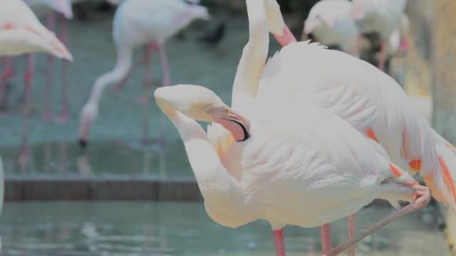 Flamingo Awesome flamingo outdoor shot. video