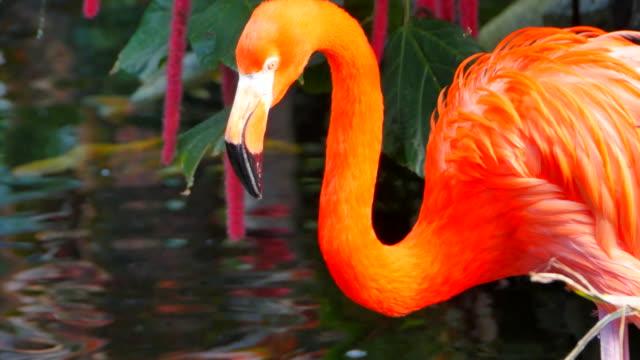 flamingo fågel dricksvatten och stående - idyllisk bildbanksvideor och videomaterial från bakom kulisserna