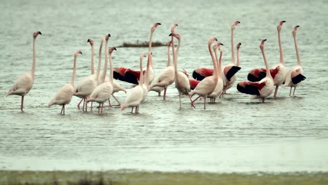flamingo dance - sardegna video stock e b–roll