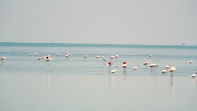 pan flamingo flying in the lagoon - uccello acquatico video stock e b–roll