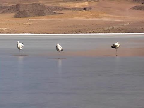 fenicottero in thefrozen laguna - arto inferiore animale video stock e b–roll