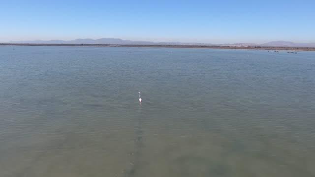 vidéos et rushes de flamant rose sur le lac salé - lac salé