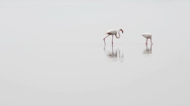 Flamingo pair feeding video