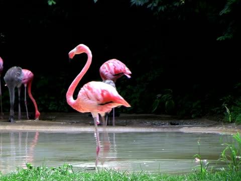 Flamingo stock videos