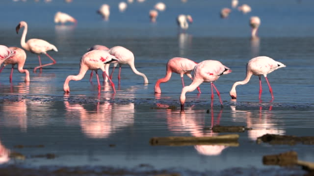 Flamingoes on Lake Nakuru video