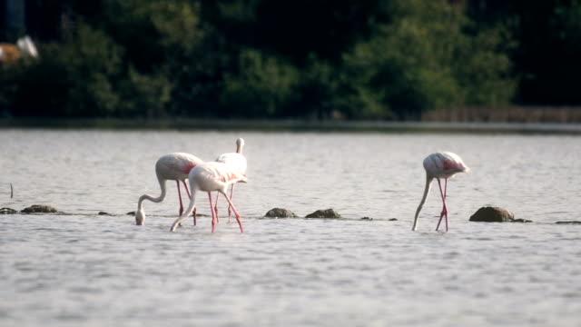 Flamingos Fütterung in Wasser mit Mangroven im Hintergrund – Video