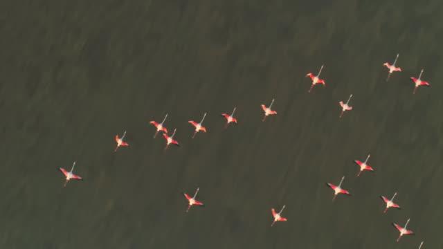 水面上を飛行する空中slo moフラミンゴ - 水鳥点の映像素材/bロール