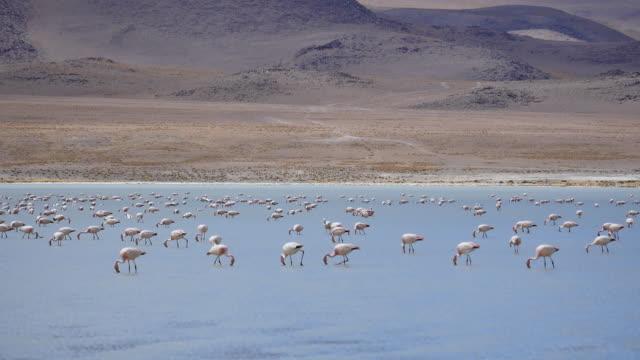 Flamingos in Atacama dessert Flamingos are looking for food in Atacama dessert wasser videos stock videos & royalty-free footage
